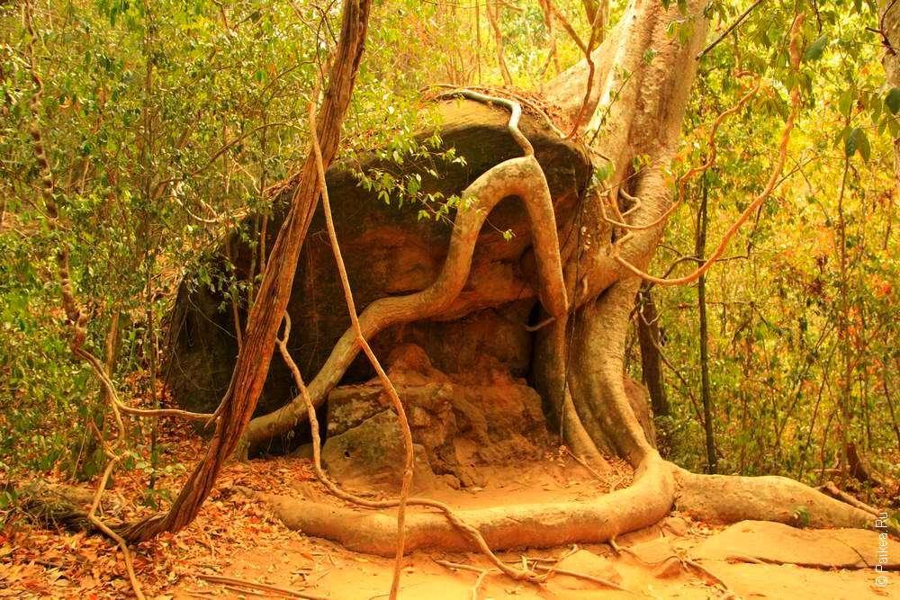 Деревья обвивают камни как храмы Ангкора