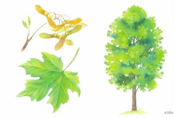 СОБИРАЕМ ЛИСТОЧКИ, ИГРАЕМ, ИЗУЧАЕМ Полезная игра для детей осенью на улице. Идем в парк и собираем с ребенком опавшие листья, определяем с какого они дерева, показываем и называем это дерево.