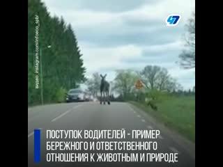 Лоси на дорогах Ленинградской области