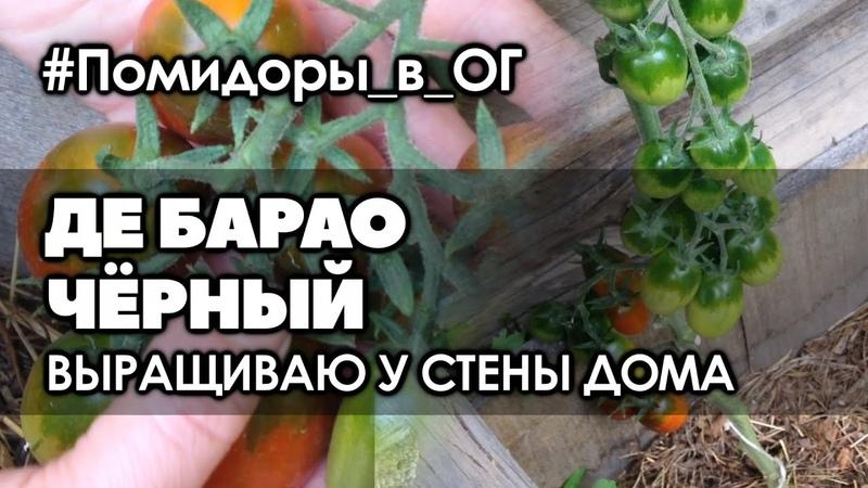 🍅 Обзор высокорослого томата Де Барао чёрный, растущего в необычном месте | Помидоры в ОГ
