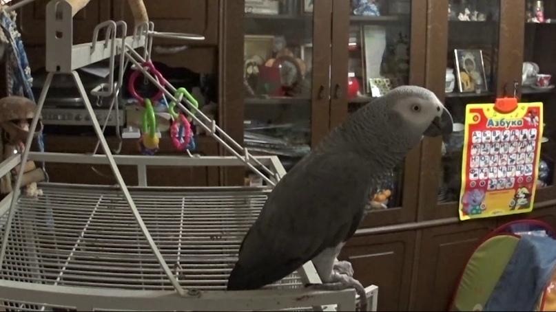 Попугай Степан