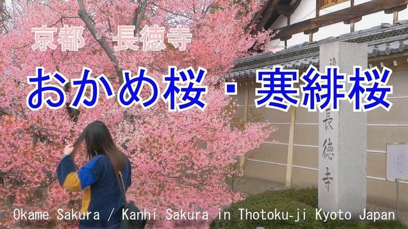 おかめ桜・寒緋桜 長徳寺 京都市 2019 Okame Sakura Kanhi Sakura in Thotoku ji Kyoto Japan