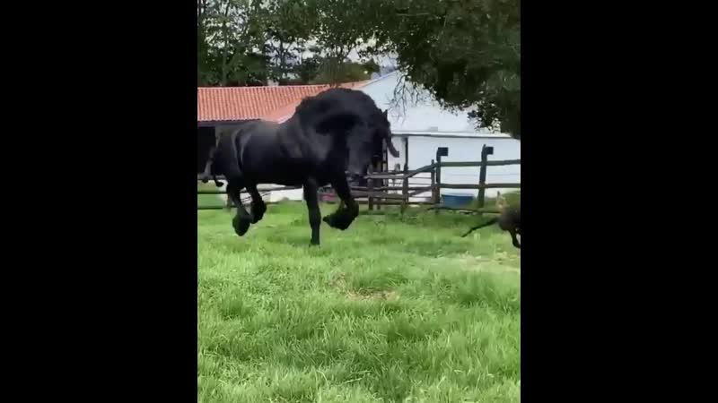 Фризская лошадь резвится 🐴