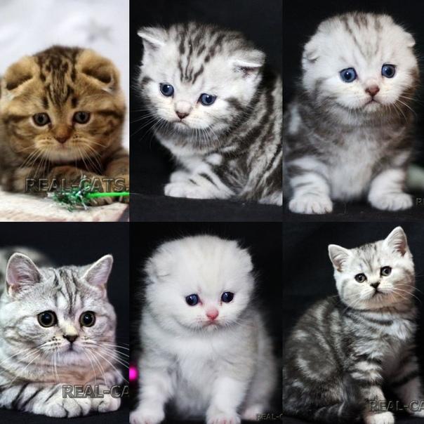 лопух отличие шотландских котят от британских фото шпиндель место забыв