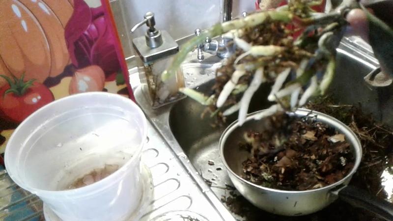 Я в шоке, эксперимент по наращиванию корней и листьев орхидее превзошел все ожидания