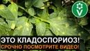 КЛАДОСПОРИОЗ бурая пятнистость томатов враг теплиц №1 Лечение и профилактика болезни