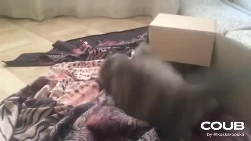 Белла VS Арья Кошачьи бои Смешные кошки