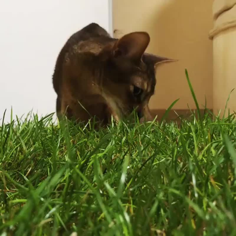 Натуральная трава для кошек