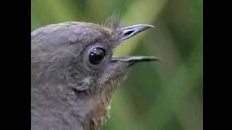 Лира ( Лирохвост ). Птица, имитирующая звуки бензопилы и сигнализации.