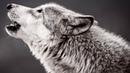 Волк в одно мгновение из черного стал белым когда увидел что охотники сделали с его семьей