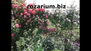 цветение плетистых роз , питомник роз Полины Козловой,