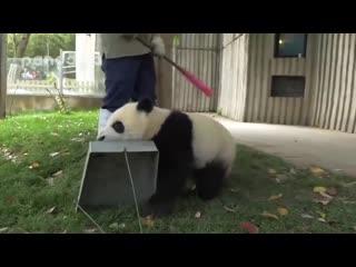 Сотрудница убирает листья в зоопарке, а тем временем панды пытаются с ней играть и всячески мешают