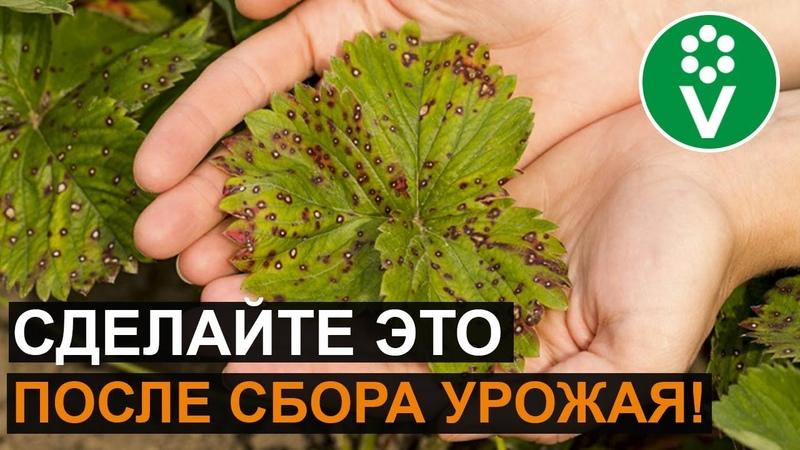 УХОД ЗА КЛУБНИКОЙ после сбора урожая: обрезка, подкормка, обработка
