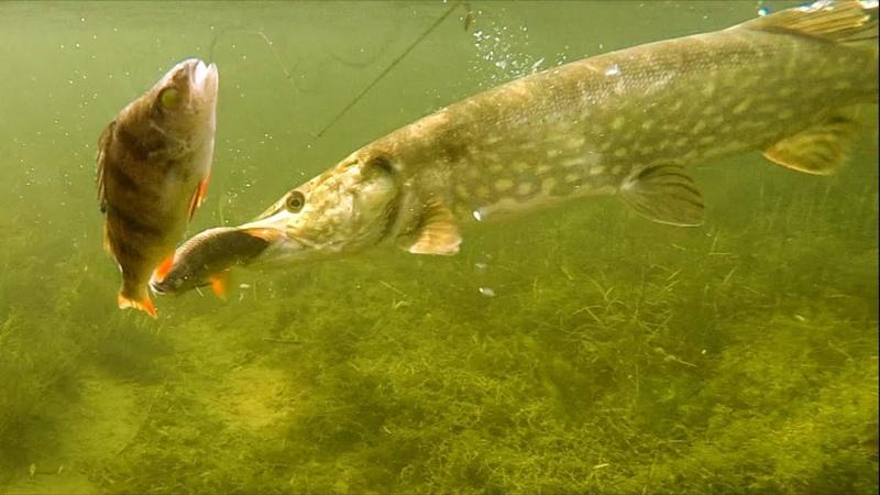Рыбалка щука атакует приманку мёртвую рыбку под водой плотва или окунь Полное видео