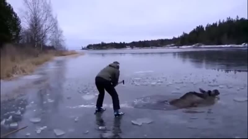 Girl Rescues a Moose Stuck in the Ice Using an Axe in Sweden