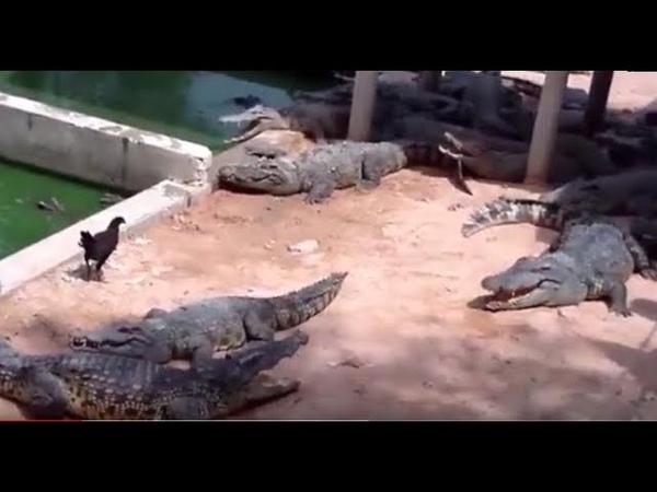 Frango Perdido no Recinto dos Crocodilos Veja no que deu