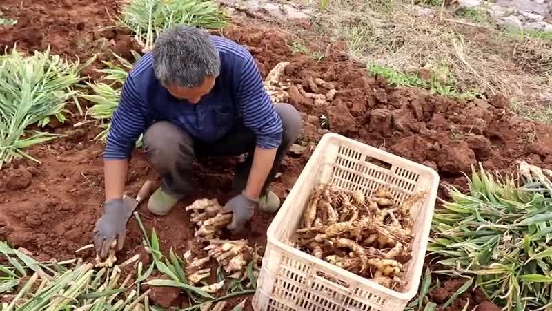 Китайский бизнес. Выращивание имбиря в Китае