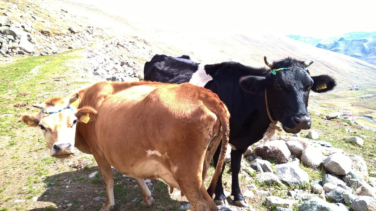 В Турции коровы имеют ожерелья