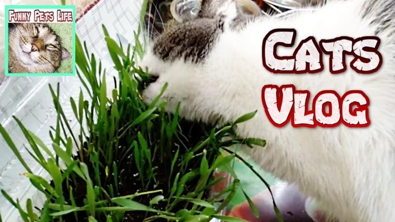 Cat Vlogs. Коты едят траву. Бегающая кошка. Коты что-то нюхают.
