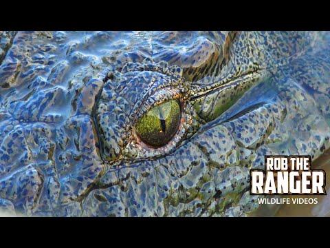 Nile Crocodiles Fishing Shingwedzi Causeway Kruger National Park