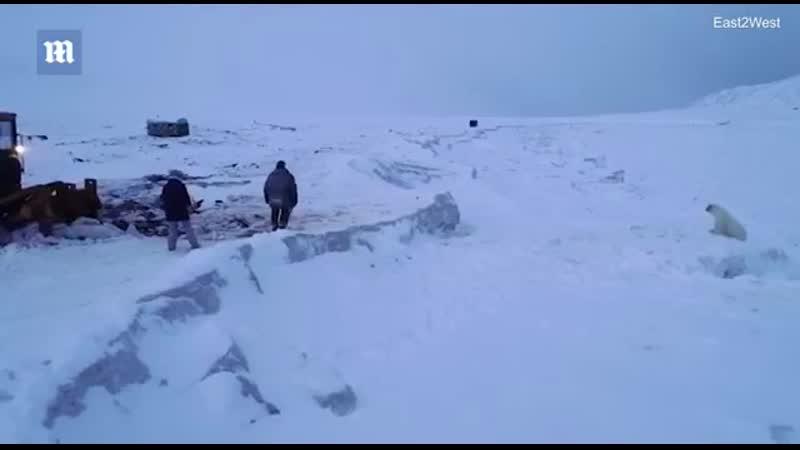 В селе Рыркайпий на Чукотке где нашествие полярных медведей пытаются отпугнуть зверей с помощью ракетниц