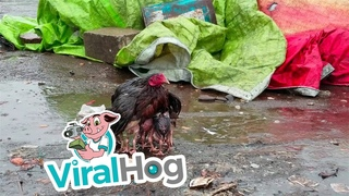 Мама-курица укрыла своих птенцов от сильного дождя