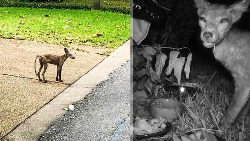 Странное существо похожее на собаку бродило в городе Люди решили его поймать