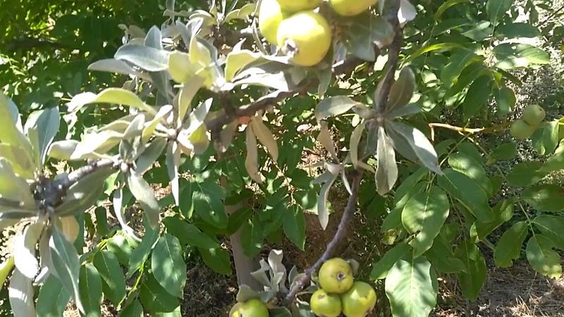 Ahlat ağacı ve Ahlat meyvesinin faydaları