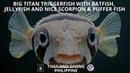 Big titan triggerfish with batfish,jellyfish and nice scorpion/puffer fish in scuba coron philippine
