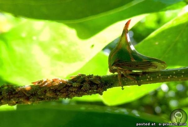 Удивительный жук  Цикада Умбония Спиноза (Umbonia Spinosa)