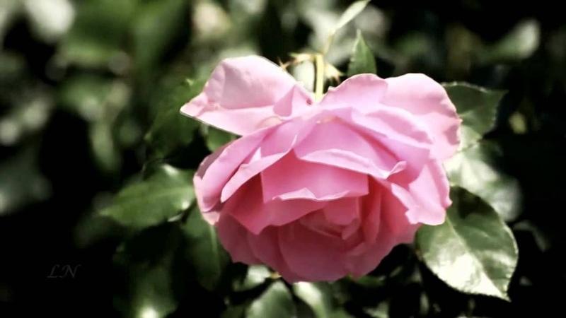 Розовый вальс Ф Легар Вальс из оперетты Веселая вдова F Lehár
