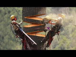 Huge Cedar Trees Felling Climbing with Chainsaw Machines! Dangerous Tree cutting down skills