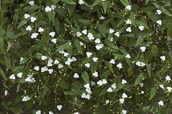 Традесканция гибазис  «белая фата» для цветников, контейнеров и подоконников.