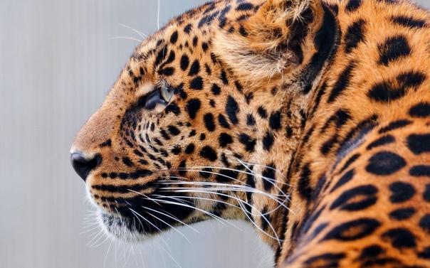 Обои На Стол Леопард