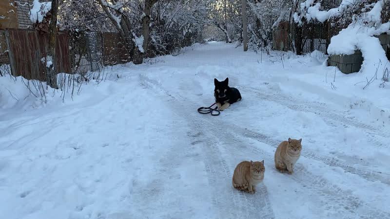 Немецкая овчарка дрессировка 9 месяцев Рей Команда лежать с котами