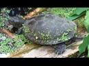 Видео про черепаху, европейская болотная черепаха