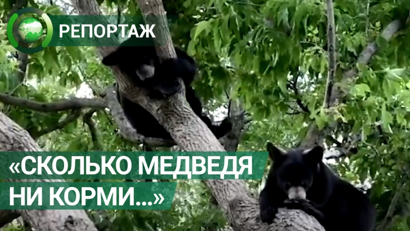 Спасенные канадскими зоозащитниками медвежата подружились и вместе ушли в лес ФАН ТВ