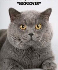 Британская короткошерстная кошка ➠ Узнайте все о породе кошек ... | 240x200