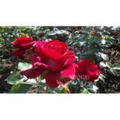 Розы чайно гибридные Лавли Ред