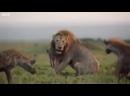 Лев против стаи гиен