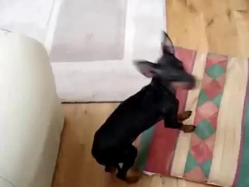 Породы маленьких собак  English Toy Terrier.  Английский той терьер.