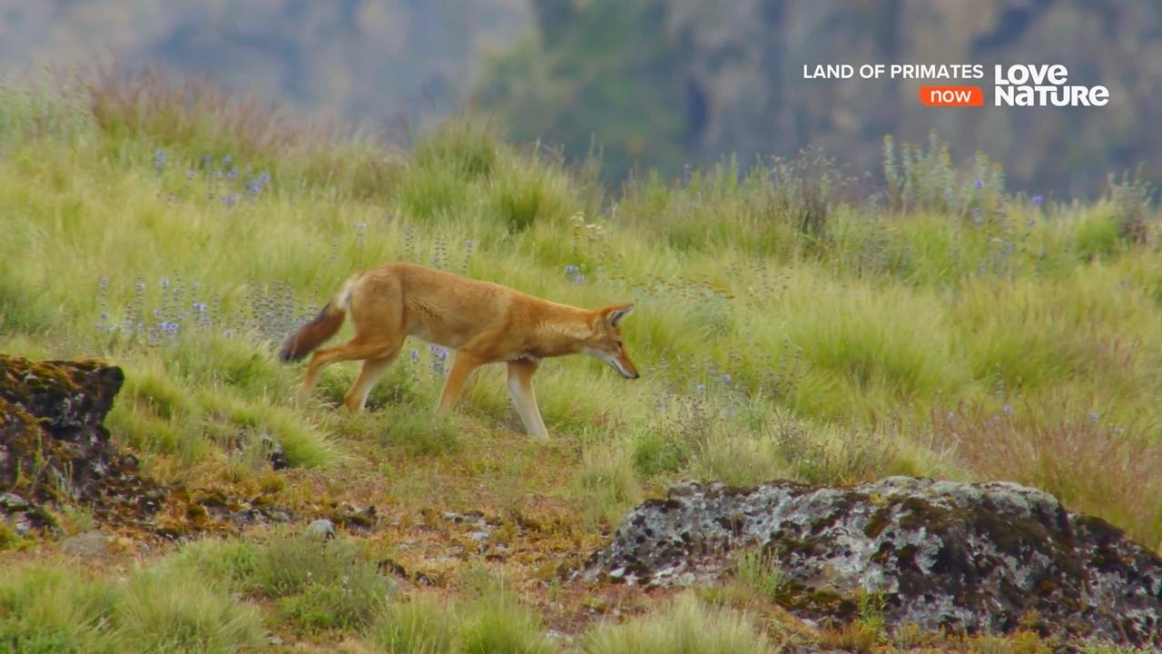 Наглядная эволюция на примере волков, изображение №1