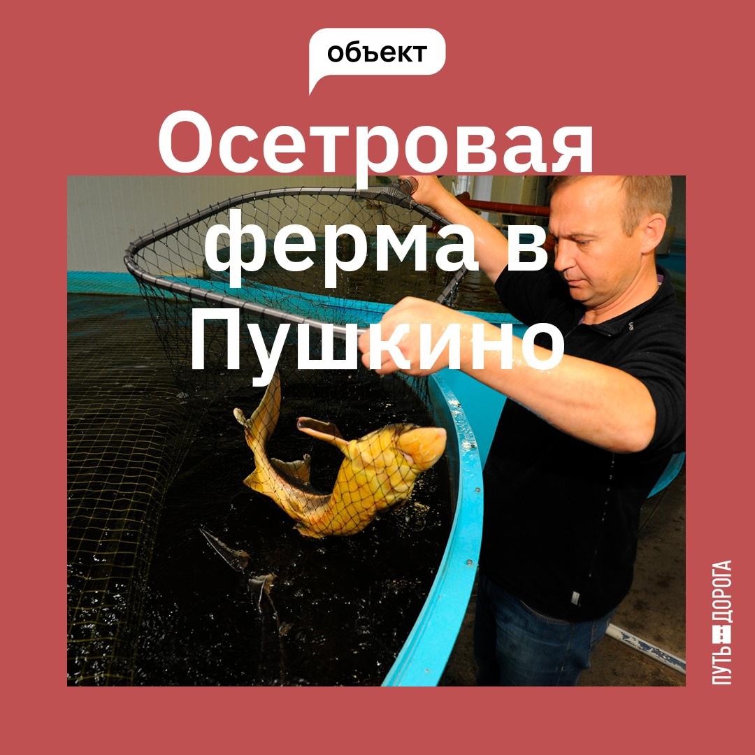 Пушкинская осетровая ферма предлагает рыбу осетровых пород и другую рыбную продукцию.