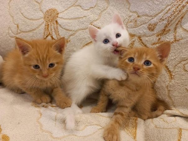 Котята в добрые руки белая девочка и рыжие мальчик...