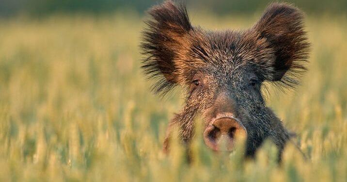 Первого июля в регионе откроется охота на кабана