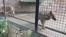 Стая волчат-спасенышей! A flock of rescued wolf cubs!