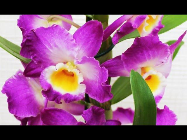 Пересаживаем орхидею Дендробиум НобилеTransplanted Dendrobium Nobile