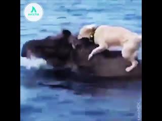 Собака на лосе   АКУЛА