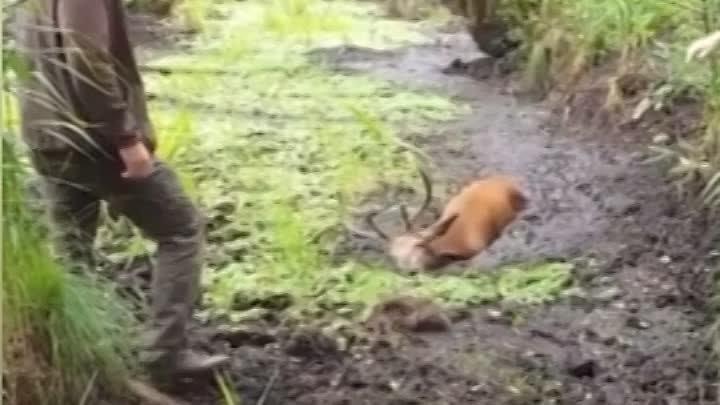 Олень застрял в болоте