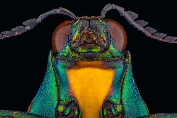 Портрет жука-златки (Buprestidae)